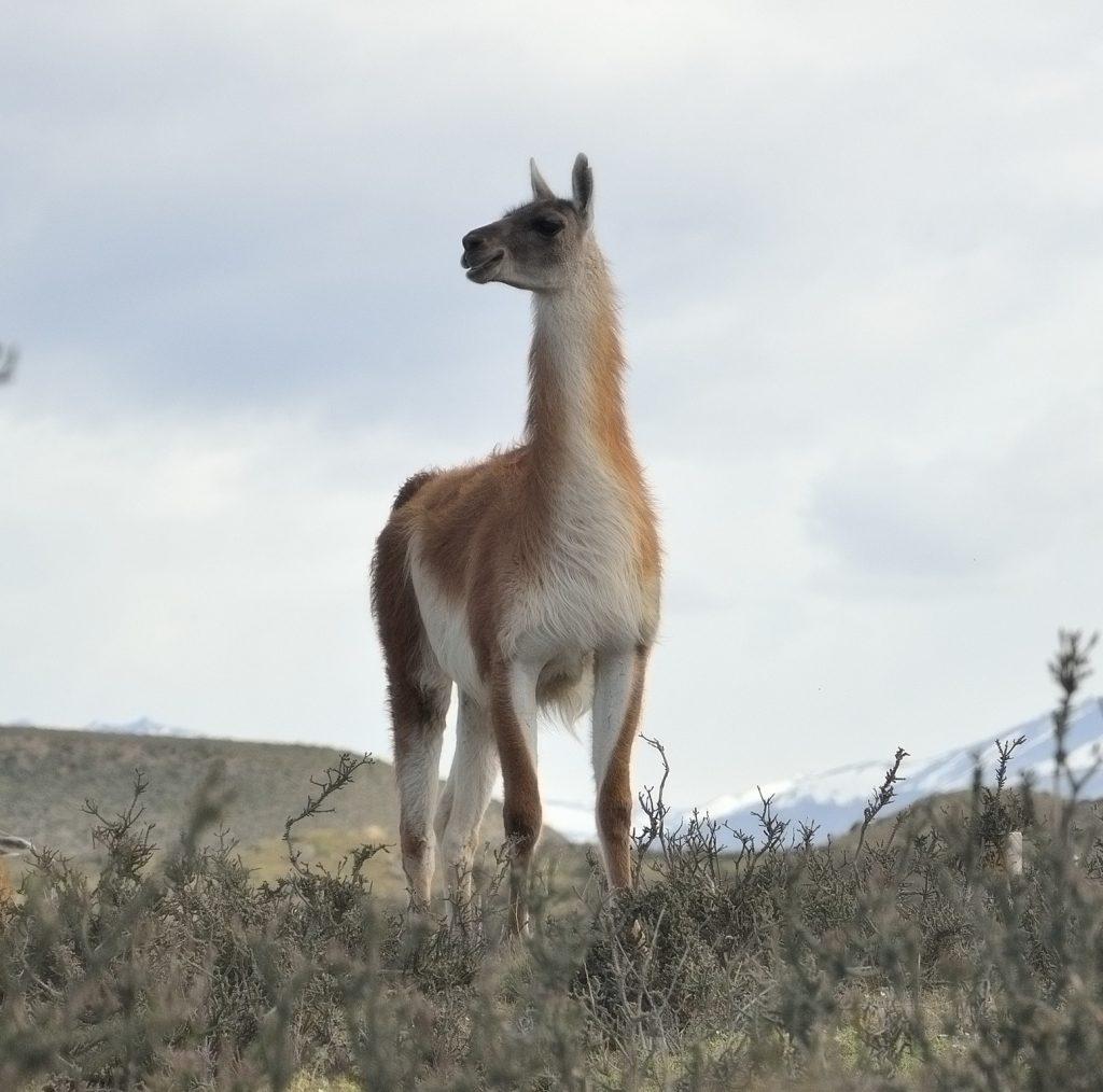 guanaco al Torres del Paine