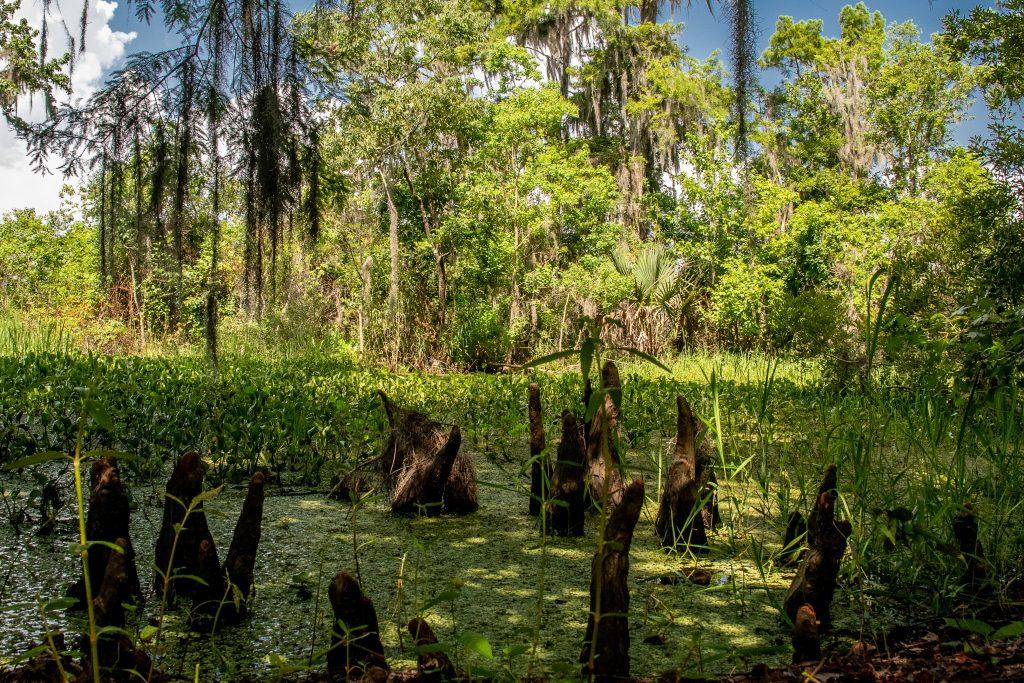 piccoli stagni ricoperti di foglioline verdi all'interno della Barataria Reserve