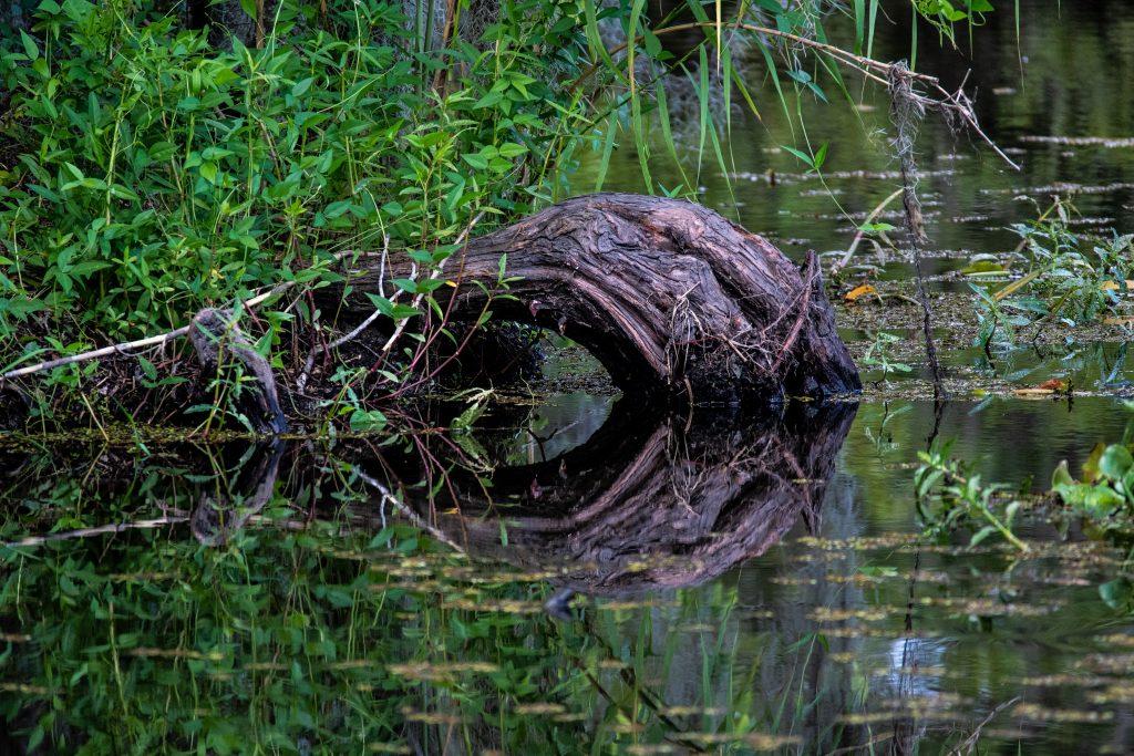 all'interno della Barataria Preserve  un tronco riflesso nell'acqua