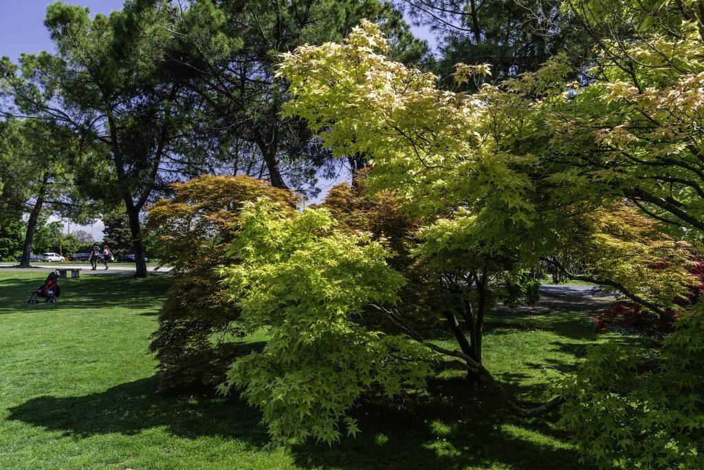 aceri giapponesi nel parco Sigurtà, le foglie colorate di rosso, giallo e verde si illuminano con i raggi del sole.