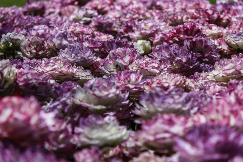 tulipani di un bellissimo colore violetto screziato di bianco nel Parco giardino Sigurtà