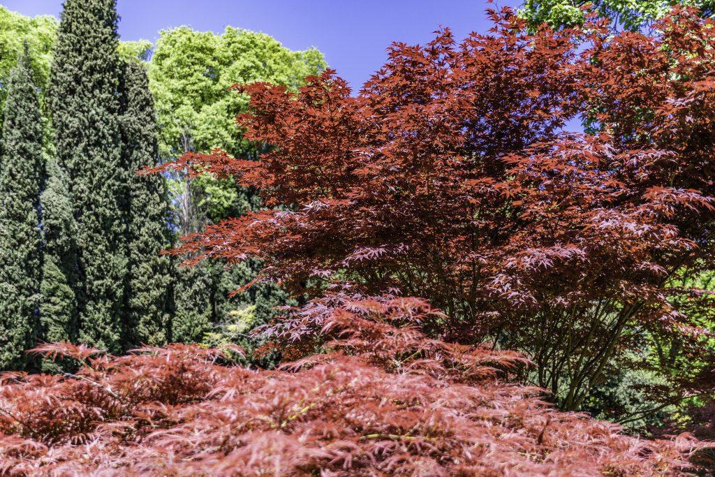 le foglie rosso intenso degli aceri giapponesi