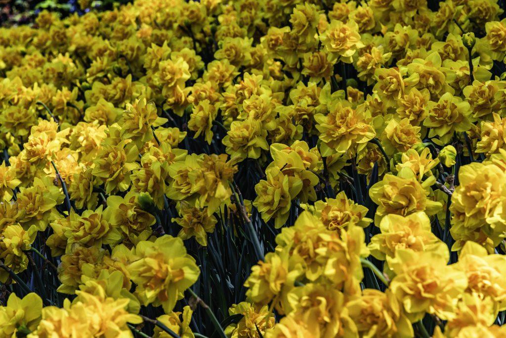 il giallo dei narcisi illumina le aiuole