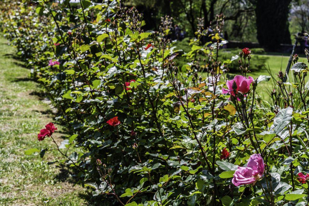 un viale costeggiato da cespugli di profumatissime rose