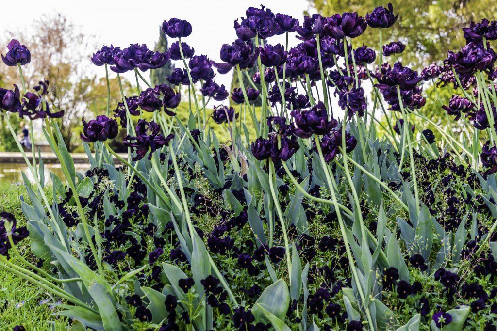 iris viola scuro
